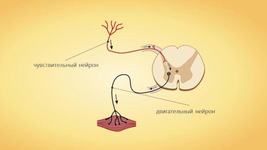 Нейронная дуга