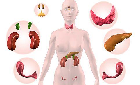 Органы, связанные с работой щитовидки