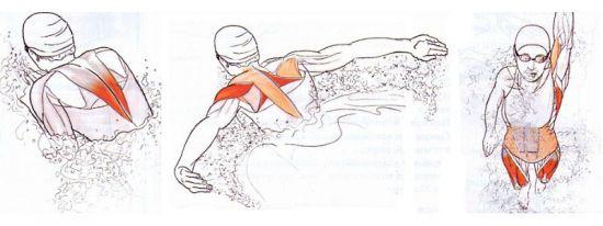 Мышцы, работающие в бассейне