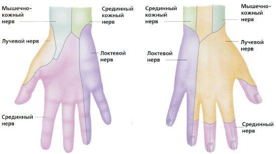 Нервы кисти руки
