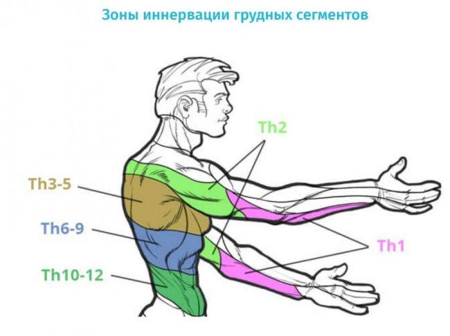 Зоны иннервации грудных сегментов