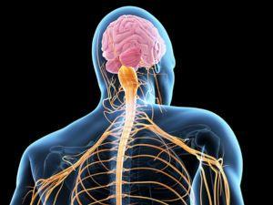Спинной и головной мозг