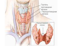 Щитовидная и паращитовидная железа